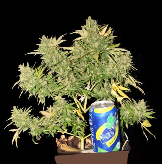 plantas de cannabis pequeñas