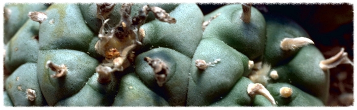 Female Seeds Peyote