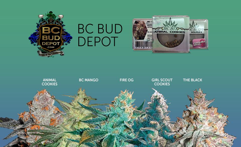 bc bud depot greenparrotseeds. Black Bedroom Furniture Sets. Home Design Ideas