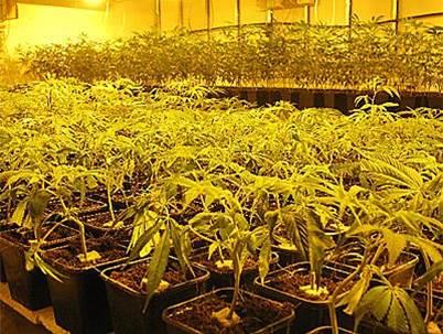 Cannabis plagas