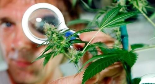 Los micro ácaros de la marihuana